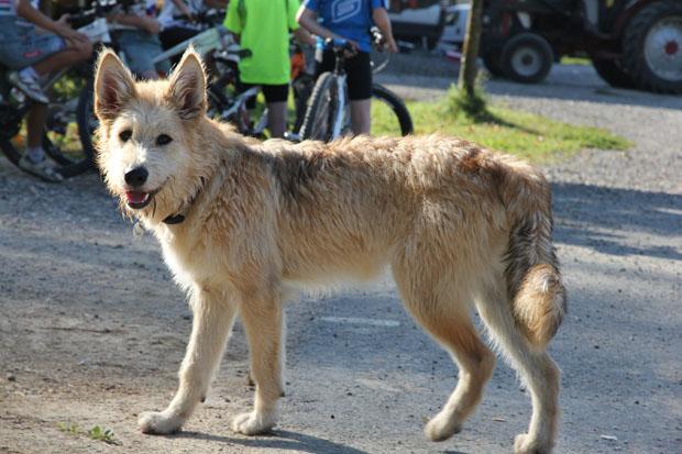 Canis lupus herwigensis